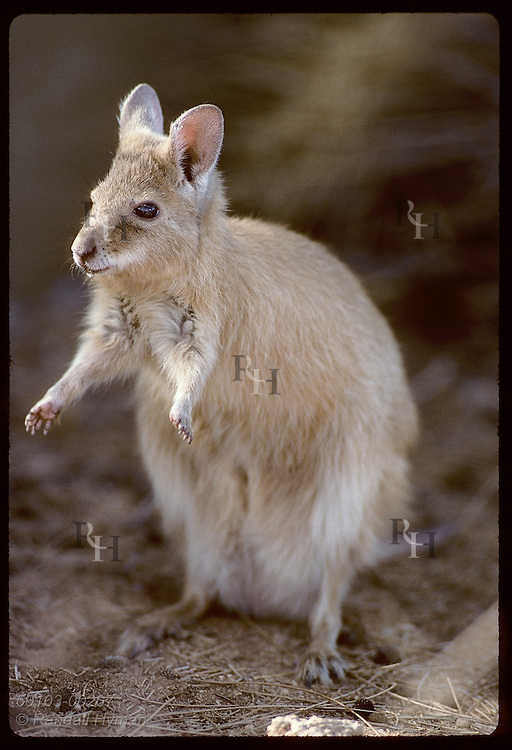 Endangered female mala, or rufous hare-wallaby, pauses in morning sun; Conservatn Comm of NT/Alice Australia