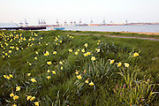 Felixstowe docks from Harwich with daffodils in spring, Essex