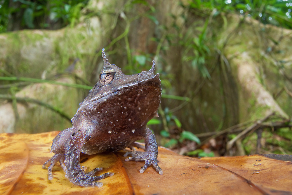 The Solomon Islands Eyelash Frog, Ceratobatrachus guentheri, skips the tadpole stage, opting instead to lay eggs on the forest floor.