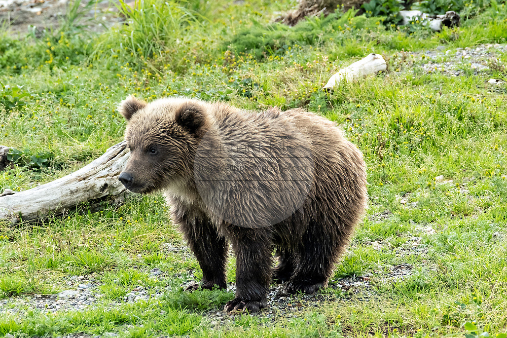 A Brown Bear cub standing on a spit of land along the lower Brooks River in Katmai National Park and Preserve September 16, 2019 near King Salmon, Alaska. The park spans the worlds largest salmon run with nearly 62 million salmon migrating through the streams which feeds some of the largest bears in the world.