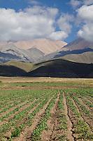 CULTIVOS Y CORDILLERA, RUTA 89 CAMINO A POTRERILLOS, LAS PIRCAS, TUPUNGATO, PROVINCIA DE MENDOZA, ARGENTINA
