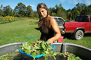 Farm Girl Farm CSA, sustainable community supported agriculture. Laura Meister washes baby salad greens.