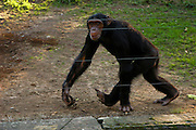 Chimpanzee behind a fence