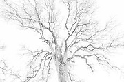 Winter Oak, Ahwahnee, California