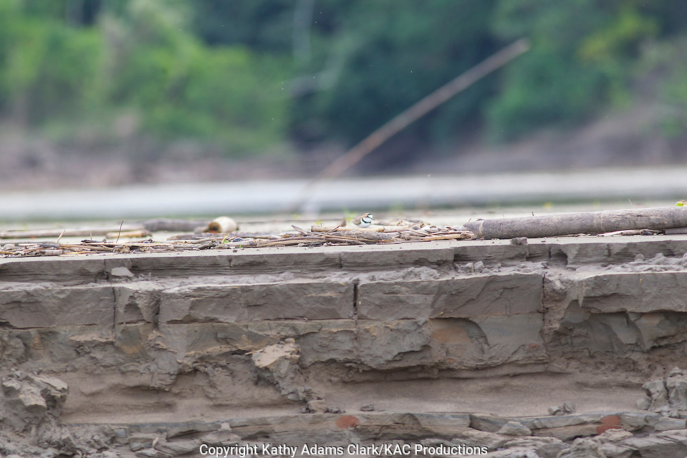 Collared plover, Charadrius collaris, Inkaterra Amazonia; Madre de Dios River; Peru; Reserva Ecologica Inkaterra; Tambopata National Reserve