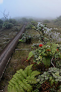 Lehua and ferns, Alakai Swamp Trail, Kauai, Hawaii<br />