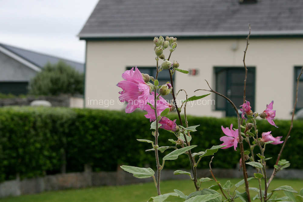 The Althaea Officinalis flower also known as the Marshmallow flower in Ireland