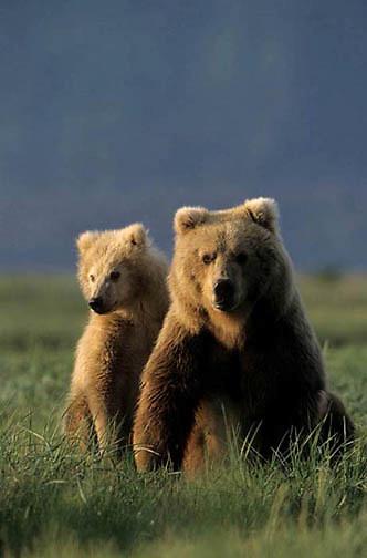 Alaskan Brown Bear, (Ursus middendorffi) Female sitting with cub. Katmai National Park. Alaska. June. Late Spring.