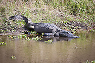 An American alligator basks in the sun along a bank in Myakka River State Park, Sarasota, Florida