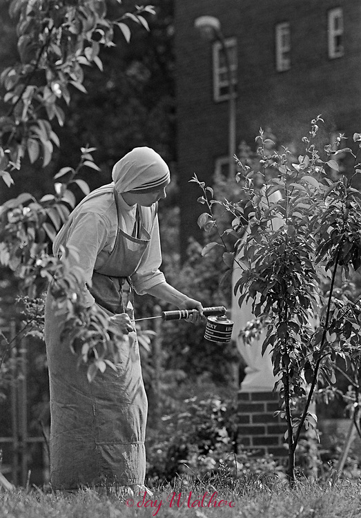 The first mission established in North America by the Missionaries of Charity led by Mother Teresa is located in the South Bronx section of New York City.  The Queen of Peace Home offers aid to the poor and homeless who come on a regular basis for meals and a temporary place to live.  All the food is donated and the sisters must collect the goods everyday, prepare and serve the meals.  The sisters also visit the elderly and offer spiritual comfort.  The Missionaries of Charity are extremely publicity shy and allowed the photographer, Jay Mather and a writer, John Long, the first-ever access to the community In June, 1982 prior to the establishment of a new outpost in the Appalachian town of Jenkins, Kentucky.  Mother Teresa attended the opening of that mission in the summer of 1982.<br /> <br /> Spraying fruit trees in the garden adjacent to the mission building.  The garden gate is never locked so neighborhood residents can come in and enjoy the garden.