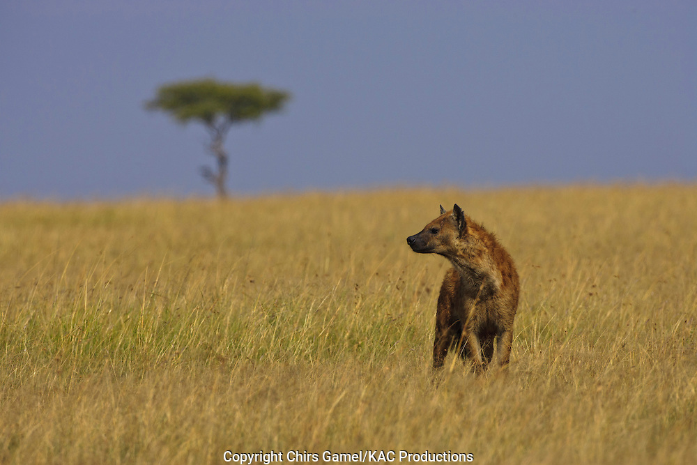 Spotted hyaena standing on the savanna.