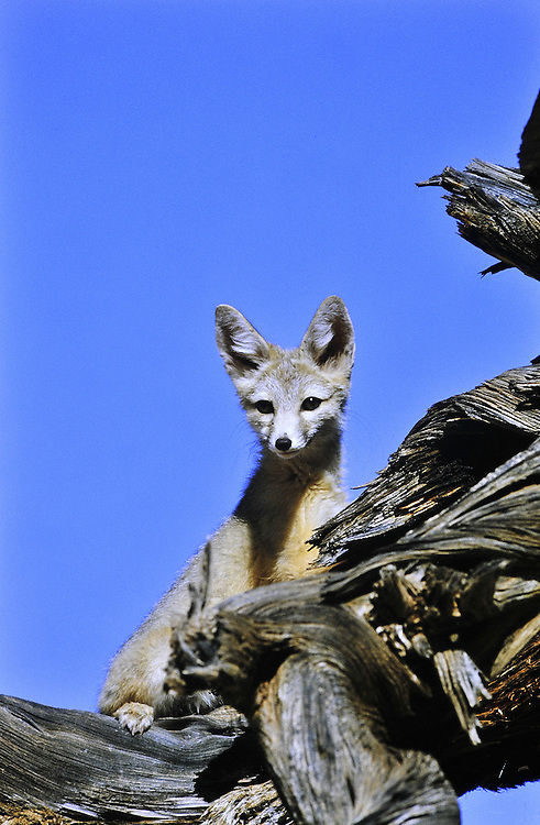 Approaching a den site an adult Kit fox climbs an old stump to check me out. Predator Heat adapted desert small blue<br />