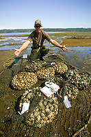 First Nations aquaculture includes the harvesting of clams in Baynes Sound.  Comox Valley, Vancouver Island, British Columbia, Canada.