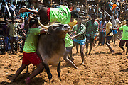 The Alanganallur Jallikattu. In six years from 2008 – 2014  43 people died after being gored by a Jallikattu bull and more than a thousand were seriously injuried.