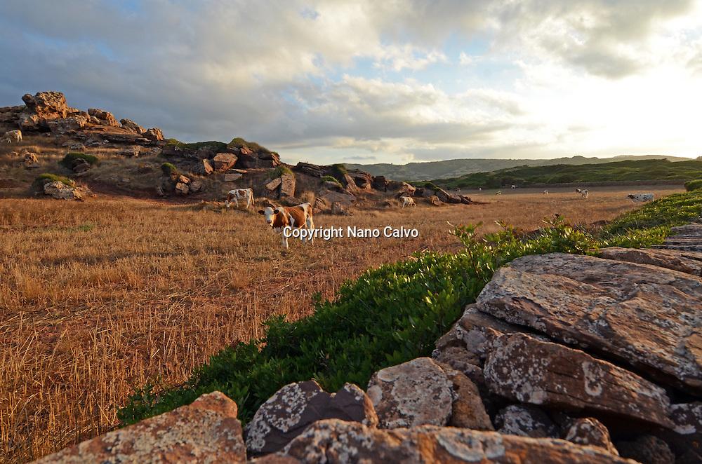 Cows at sunset, in the surroundings of Cala Pregonda, Menorca