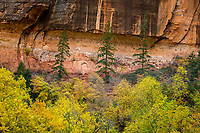 Three pine trees stand above the rest of the Fall colors at the base of the towering sandstone walls of Zion National Park in Utah. (Landscape Orientation)