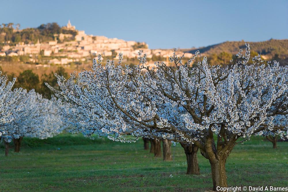 Cherry blossoms, Bonnieux, Vaucluse, Provence, France