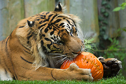 © Licensed to London News Pictures. 30/10/2012. London, UK. Jae Jae, a four year old Sumatran tiger, investigates a carved Halloween pumpkin as the animals of London Zoo join in with Halloween festivities in London today (30/12/12). Photo credit: Matt Cetti-Roberts/LNP