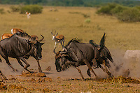 Blue wildebeest running, Nxai Pan National Park, Botswana.