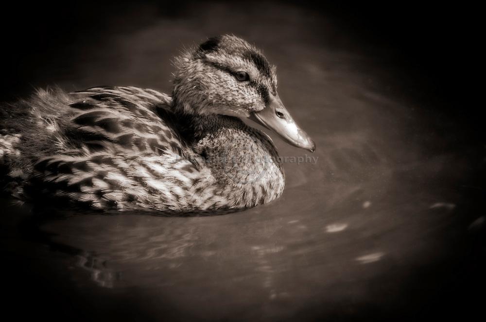 Side profile of Mallard duck in water