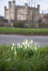 © London News Pictures. 08/02/13. Snowdrops (Galanthus) flowering in the grounds of Leeds Castle, Maidstone, Kent. Picture credit should read Manu Palomeque/LNP