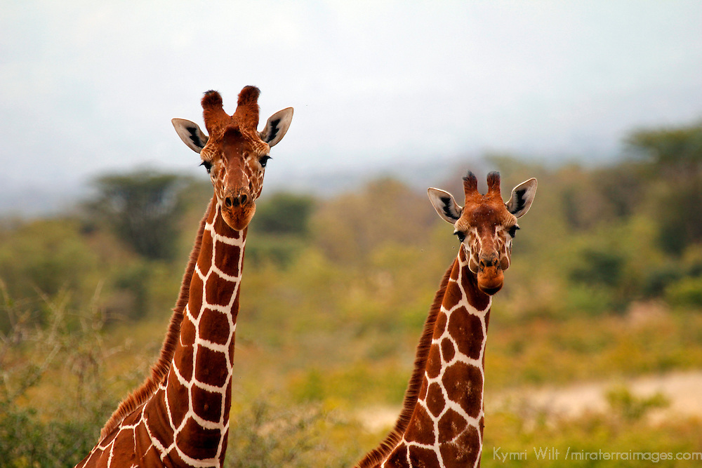 Africa, Kenya, Meru. Faces of Reticulated Giraffes of Meru National Park.