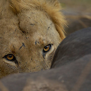 Lion, Wildcru study Hwange Nation Park. Zimbabwe