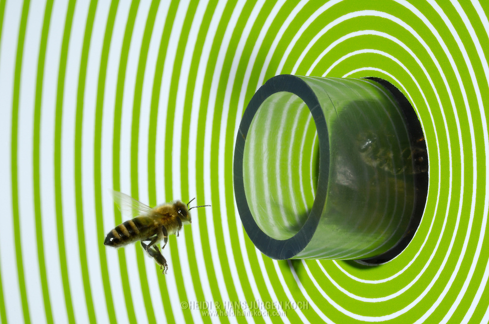 DEU, Deutschland: Biene, Honigbiene (Apis mellifera), Sammelbiene kehrt zurück, fliegt in ihr Einflugloch. Um das Einflugloch befindet sich ein Spiralmuster, Verhaltensversuch zum Testen von kognitiven Fähigkeiten der Biene, wählt die Biene das richtige Muster auf das sie trainiert worden ist, findet sie hinter dem Einflugloch eine Futterschale als Belohnung, Bienen können unterschiedliche Muster und Farben erkennen, Bienenstation an der Bayerischen Julius-Maximilians-Universität Würzburg | DEU, Germany: Bee, Honey-bee (Apis mellifera), collecting bee coming back to it's hive, around the entrance is a spiral pattern in a green color, it is used for behaviour experiments for testing the cognitive abilities of bees, is the bee choosing the right pattern for entering the hive and for which it was trained for it is getting afterwards a reward of sugar liquid, bees can differ between color and pattern, Beestation at the Bavarian Julius-Maximilians-University Würzburg