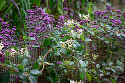 Low metal rabbit proof fencing softened by Origanum laevigatum 'Herrenhausen' AGM and Lonicera periclymenum 'Graham Thomas' AGm - Honeysuckle