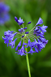 Agapanthus 'Taw Valley'. African lily