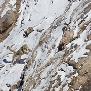 Snow Leopard Photographed in Spiti Valley India during SGP's Snow Leopard Expeditions.