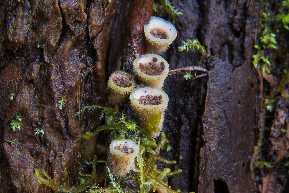 These fascinating bird's nest fungi found near the base of a huge waterfall in Oregon's Marion County, just east of Salem are one of the many natural curiosities found in the Pacific Northwest. While it may not look like it, these are actually an unusual type of mushroom, rather than a type of lichen. These still have their spores (they look like eggs in a nest) but will expel them with raindrops during a rainstorm, spreading their DNA on the forest floor for the next generation to spread and prosper.