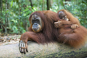 Sumatran Orangutan<br /> Pongo abelii<br /> Mother and 2.5 year old baby resting on log<br /> North Sumatra, Indonesia<br /> *Critically Endangered