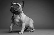 Mark Knudson's French Bulldog &quot;Clemintine&quot;, Studio<br /> <br /> (Evert Nelson/Clarkson Creative)