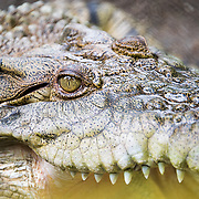 Crocodile of timor