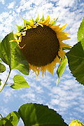 large heavy sunflower head against the sky