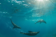 Fur seals in afternoon light photographed off Montague Island, New South Wales, Australia, Pacific Ocean.