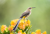 Male Cape Sugarbird perched on a Pin-Cushion flower. Kirstenbosch Botanical Gardens. Western Cape. South Africa