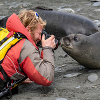 Naturalist Peter Webster photographs a curious southern elephant seal weaner at Gold Harbour on South Georgia Island.