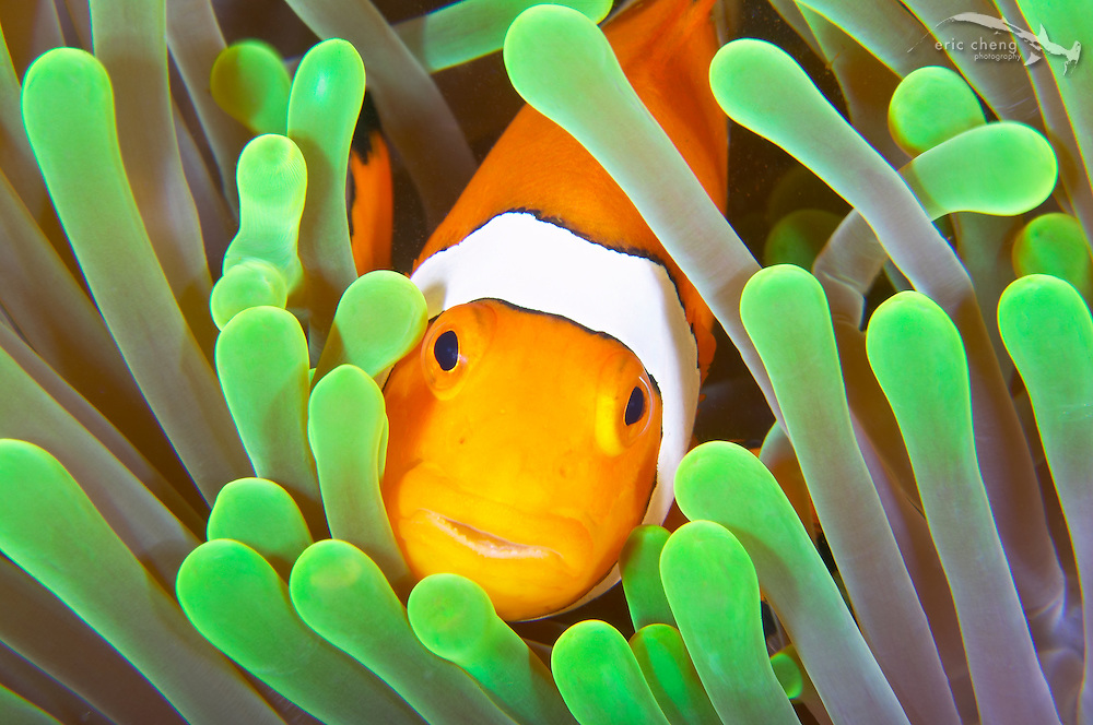 False clownfish (Amphiprion ocellaris) in host anemone, Sulawesi, Indonesia