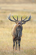 Rocky Mountain Bull Elk in Autumn Habitat
