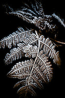Close-up of frost-covered fern fronds.