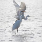 Egrets, Tomales Bay, California