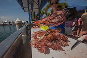 Volunteers from marine conservation organization REEF count, measure, clean and inspect 612 Red Lionfish, Pterois volitans, an invasive species, caught by divers during a lionfish derby on August 17, 2013 in Palm Beach Shores, Florida, United States. After the event, fillets of the invasive fish were sent to local restaurants.
