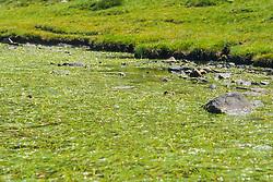 Drijvende egelskop, Sparganium angustifolium