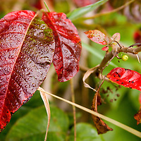 Red leaves with a green leaf bokeh background.