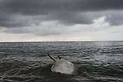 a dead whale shark at lamalera beach, fishermen use the tide for washed up that dead fish  on the beach.Residents in the lamalera village, Indonesia cathing  sperm whales with traditional method to provide meals for the entire village and part of the Lembata island where the village is located..