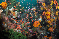 Coral Head with Orange Cup Corals and Anthias...Shot in Indonesia