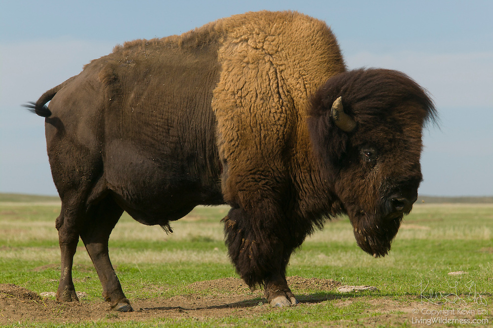 A large adult American Bison (Bison bison) stands in an open prairie near Buffalo Gap in Badlands National Park, South Dakota. Bison are the largest terrestrial land mammals in North America. While commonly called buffalo, true buffalo are found only in Africa and Asia.