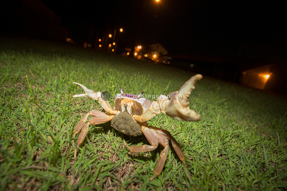 A crab carrying eggs flares it's claws near Colon, Panama.